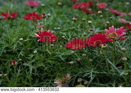 Beautifully Blooming Dimorphoteca Or African Daisies In Red Color Outdoor In The Greek Garden - Spri