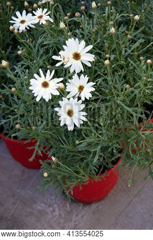 Beautifully Blooming White Dimorphoteca Or African Daisies Potted In The Greek Garden Shop - Springt