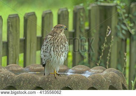 Coopers Hawk On A Backyard Bird Bath In Elk Grove Village, Illinois
