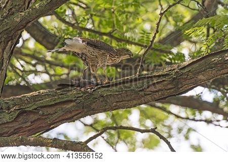 Coopers Hawk Eating Its Catch In A Tree In Elk Grove Village, Illinois