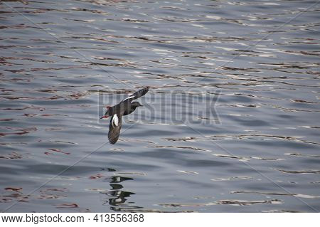 Guillemot, Ocean, Flying, Swimming, Diving, Pigeon Guillemot, Vancouver, Bc, Canada, Plumage, Fauna,