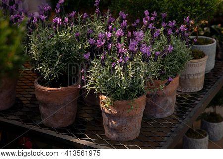 Lavandula Stoechas, The Spanish Lavender Or Topped Lavender Or French Lavender Flowering Plant In Th