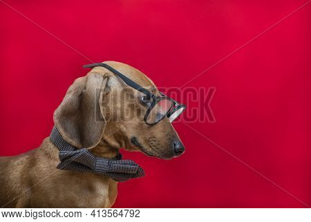 A Dog Wearing Glasses And A Bow Tie Looks To The Side, Posing Sideways On A Red Background. A Posh R