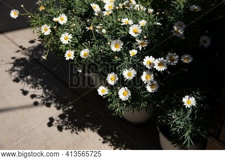 Blooming Garden Daysies Leucanthemum Vulgare, Commonly Known As The Ox-eye Daisy, Oxeye Daisy, Dog D