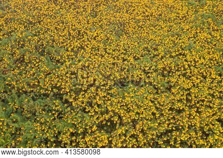 Aerial View Of Tree Marigold Or Yellow Flowers In National Garden Park And Mountain Hills In Mae Hon