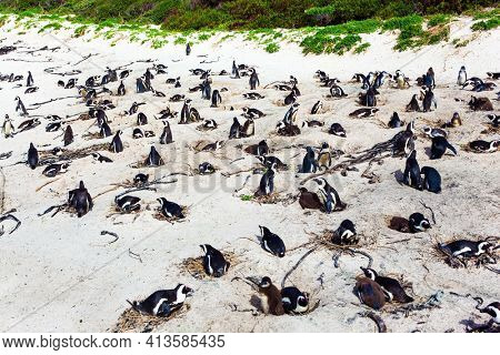 Large flock of spectacled penguins resting on a sandy ocean shallow. Sandbank with large rocks and algae. Penguin Conservation Area near Cape Town. South Africa.