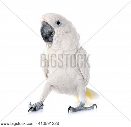 White Cockatoo In Front Of White Background
