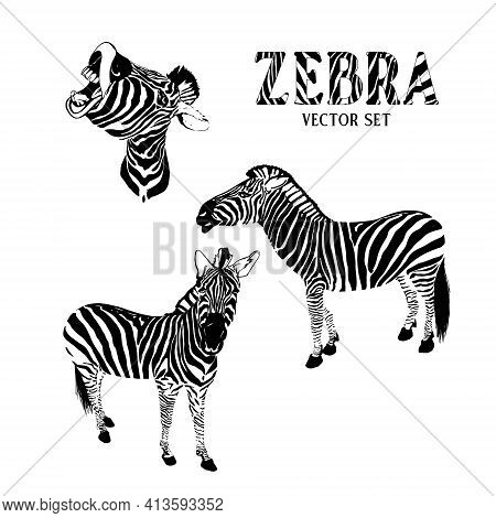 Illustration Of A Zebra Standing In Profile, Zebra Front View, Screaming Zebra Head. Vector Image On