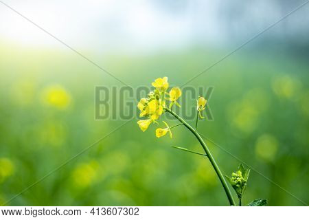 The Yellow Ripe Mustered Flowers With Plant Growing Together In Farm