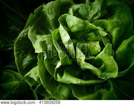 Green Lettuce, Swiss Chard And Spinach. Fresh Green Lettuce Leaves. Vegetarian Or Healthy Food. Wash