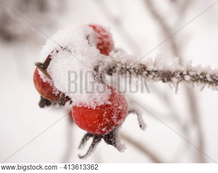 Rosehip Branch With Snow And Hoarfrost In Winter Closeup