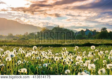 Dandelion Field In Rural Landscape At Sunrise. Beautiful Nature Scenery With Blooming Weeds In Morni