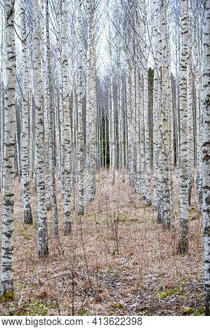 Straight Lines Of Birch Trees In Springtime