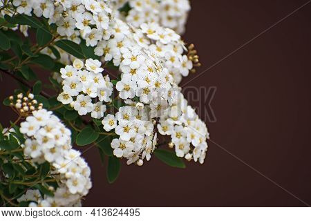 The  Branch With Inflorescences Of White Spirea Flowers And Green Leaves On Blurred Dark Burgundy Ba