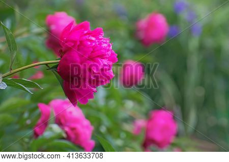 Sprig Of Beautiful Bright Pink Pion Flowers On Multicolored Floral Background