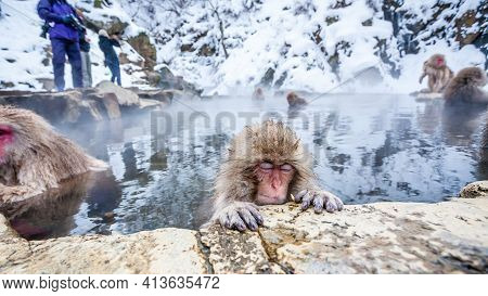 Group Of Snow Monkeys Sitting In A Hot Spring At Jigokudani Yaen-koen, Nagano Prefecture, Japan.