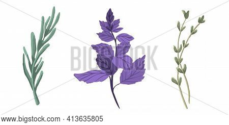 Set Of Herbs: Rosemary, Basil, Thyme. Collection Of Vector Spice On A White Background