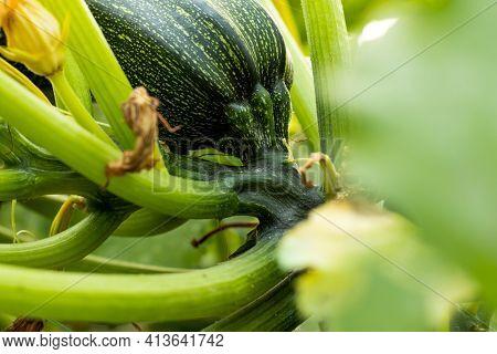 Zucchini Squash, Round Zucchini, Cucurbita Or Squash Or Is A Genus Of Herbaceous Vines In The Gourd
