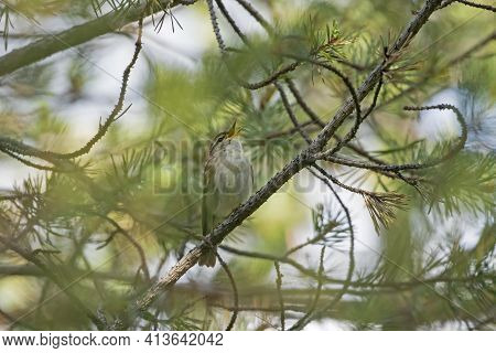 Arctic Warbler (phylloscopus Borealis) Singing On A Branch Of A Pine Tree (pinus Sylvestris) In Finn