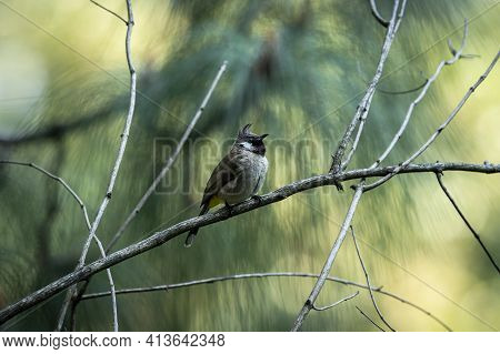 Himalayan Bulbul Or White Cheeked Bulbul Bird Portrait In Natural Green Background At Foothills Of H