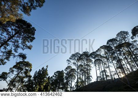 Natural Pine Trees Scenic Forest Landscape In Foothills Of Himalaya Uttarakhand India