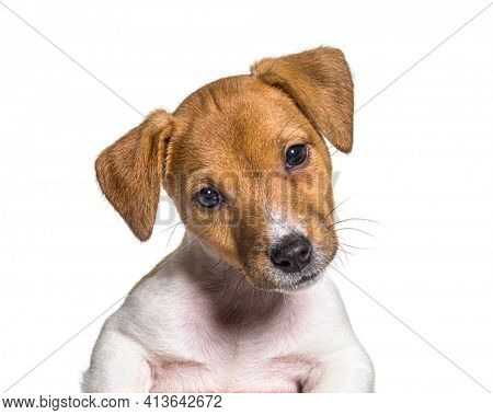 Head shot of a Puppy Jack russel terrier dog, two months old, isolated on white