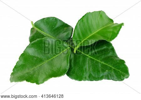 Fresh Kaffir Lime Leaves Used To Add A Lemon And Citrusy Flavour To Thai And Asian Food Isolated On