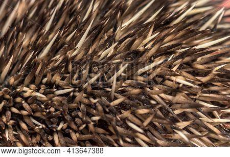 Close up of hedgehog needles spine macro texture background