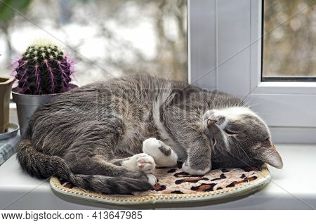 A Grey Cat Sleeps Curled Up On A Rug On A White Window With A Cactus. Background
