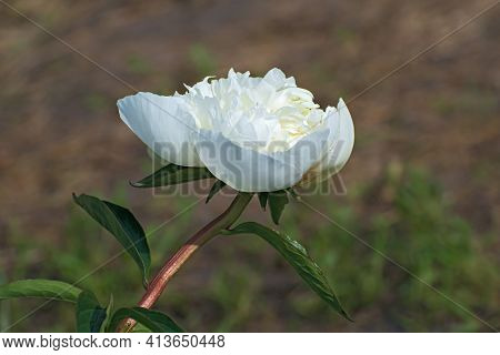 Sprig Of One Delicate White  Pion Flower And Green Long Leaves On Blurred Brown Background. Flowerin