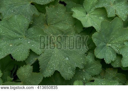 Alchemilla Mollis: The Leaves Of Ladys Mantle After A Rain With Water Droplets Spring Out In The Gar
