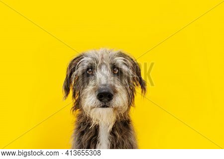 Funny Dog Portrait With Stress, Alert, Worried, Fear, Begging Expression Face. Isolated On Yellow Co