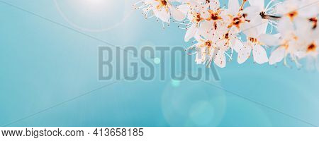 Sakura Flower, Spring Blossom And April Floral Nature On Blue Background. Banner For 8 March, Happy