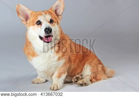 Welsh Corgi Pembroke Is Sitting On A Gray Background In The Studio Shooting