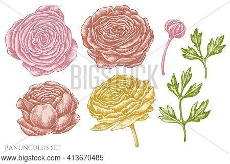 Vector Set Of Hand Drawn Pastel Ranunculus Stock Illustration