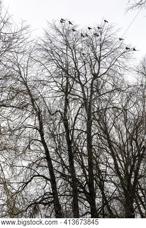 The Rooks Have Arrived. A Flock Of Birds In The Trees In The City Park In Early Spring. The Rooks Ha