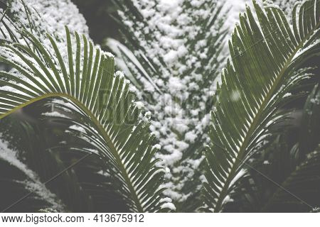 Palm Tree (chamaerops Excelsa) In The Snow