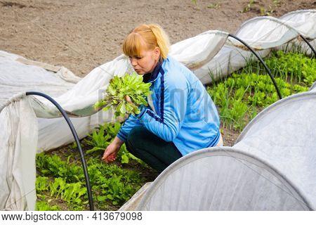 Defocus Woman Gardener Is Sitting Near A Low Tunnel Greenhouse. The Farmer Holding Harvest The Lettu