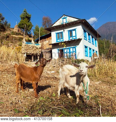 Two Goats And House Home Building In Nepal, Khumbu Valley, Solukhumbu, Nepal Himalayas Mountains