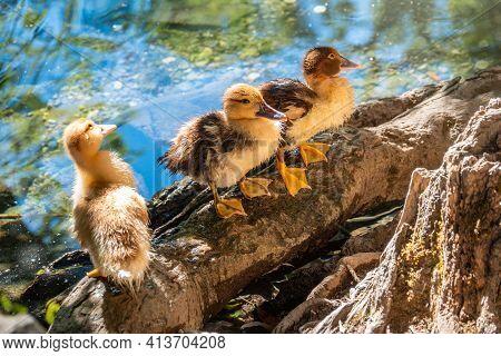 Cute Little Ducklings Standing In A Lake Coast