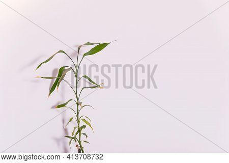 Green Bamboo Leaves Isolated On White Background.ecology Background With Bamboo Stems.simple Minimal