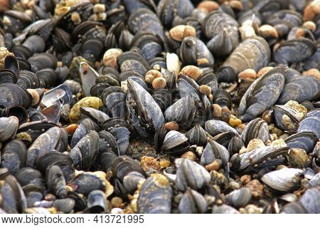 The Blue Mussel (mytilus Edulis), Also Known As The Common Mussel, Is A Medium-sized Edible Marine B