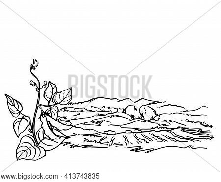 Vector Hand Drawn Sketch With Soy. Plant With Bobs And Leaves. Ink Botanical Herbal Illustration. Ve