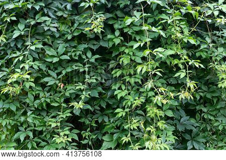 Lush Foliage Of Virginia Creeper Vine On The Wall