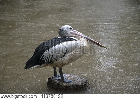 Australian Pelican Standing On A Tree Trunk During Raining Day. Its Scientific Name Is Pelecanus Con