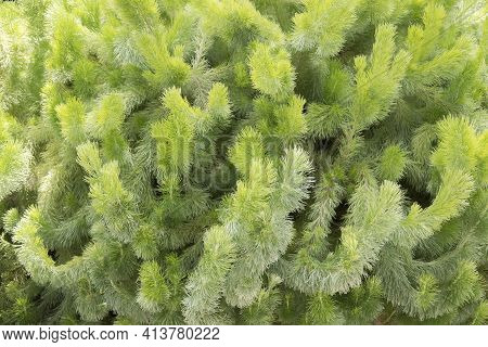 Adenanthos Sericeus Also Commonly Known As Woolly Bush.