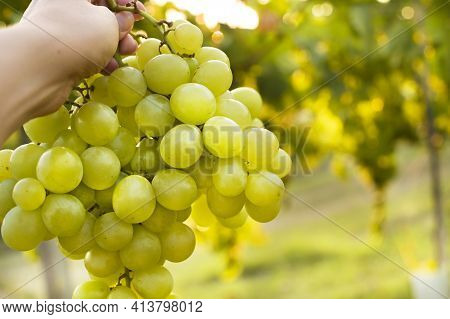Vineyards Sunset. Sunlight At Sunset And Vineyards With Grapes In The Hills Of Italy. A Person Holdi
