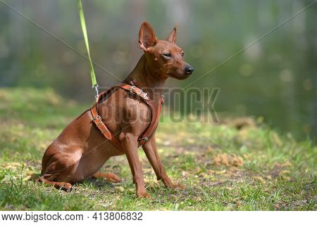 Miniature Pinscher With Uncut Ears In The Park In Summer