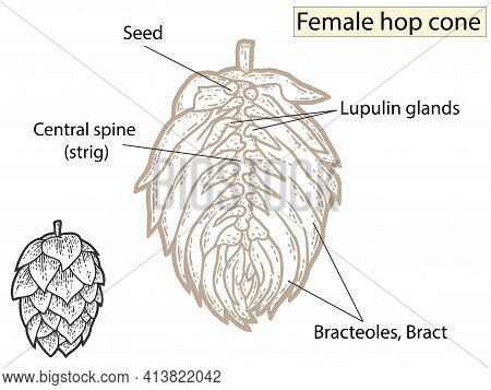 Flower, Hop Structure. Beer Ingredient. Education Agronomists And Brewers.