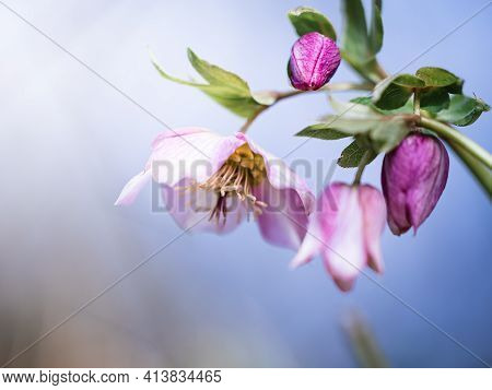 Blossom Of A Pink Lenten Rose (helleborus Orientalis) In Spring With Beautiful Colors In The Backgro